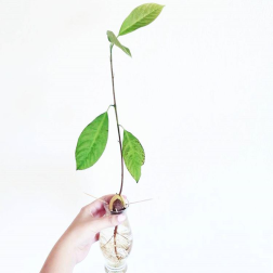 Grow a plant from Avocado seed