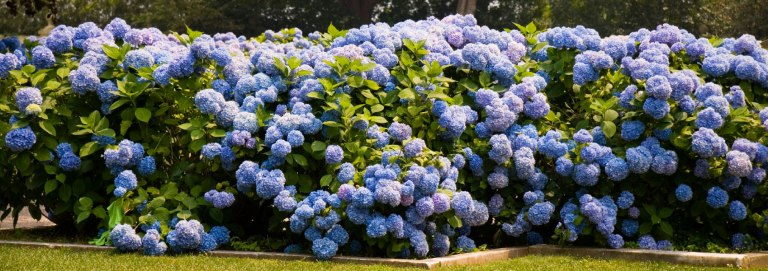 nikko-blue-hydrangeas