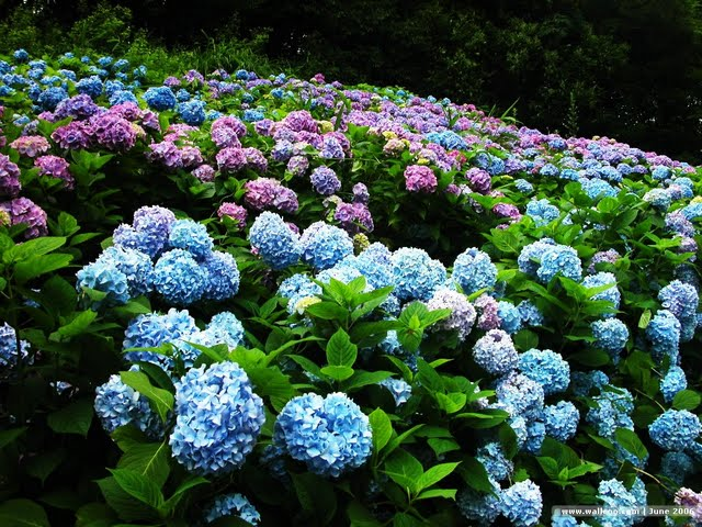 pink-hydrangea-bush-wallpaper-4