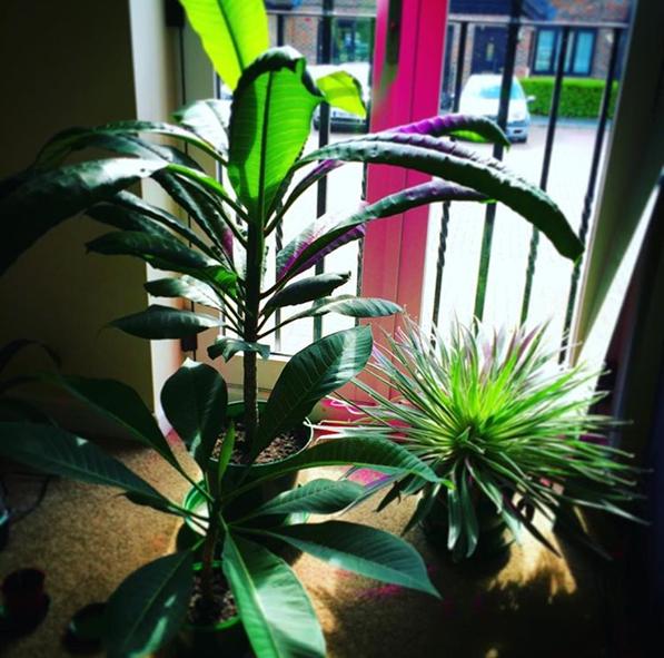 frangipani propagation