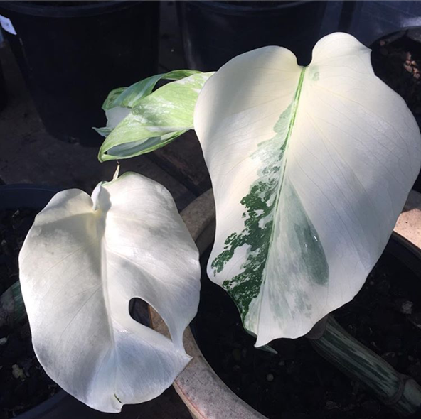 monstera growth rate