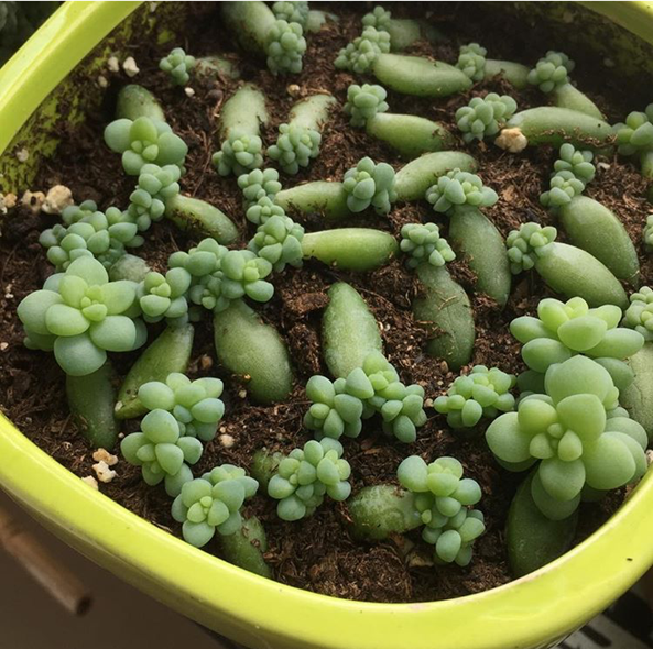 Burro S Tail Succulent Propagation Greengrow