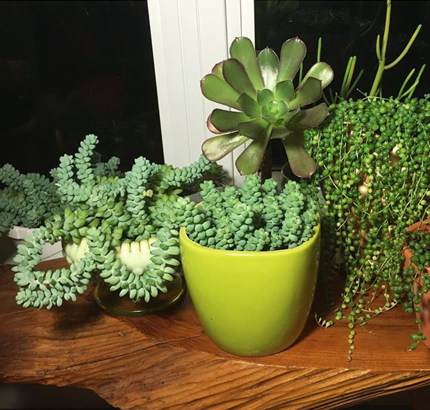 succulent growth rate