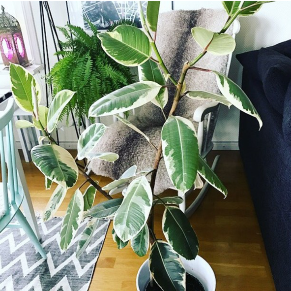 variegated Rubber Tree Propagation Greengrow
