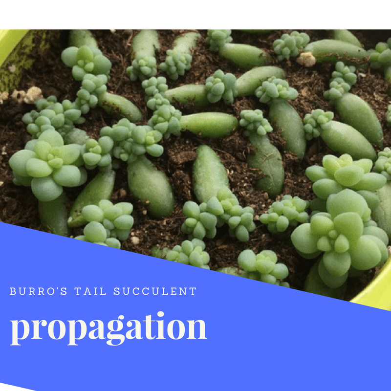 how to propagate burro's tail succulent