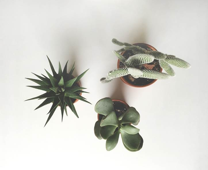 growth progress of haworthia plant