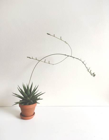 Haworthia fasciata ( Aloaceae )