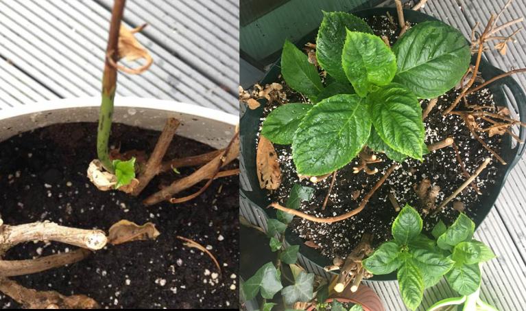 fast growing hydrangea