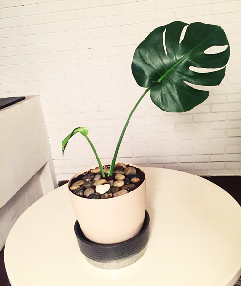 monstera indoor plant
