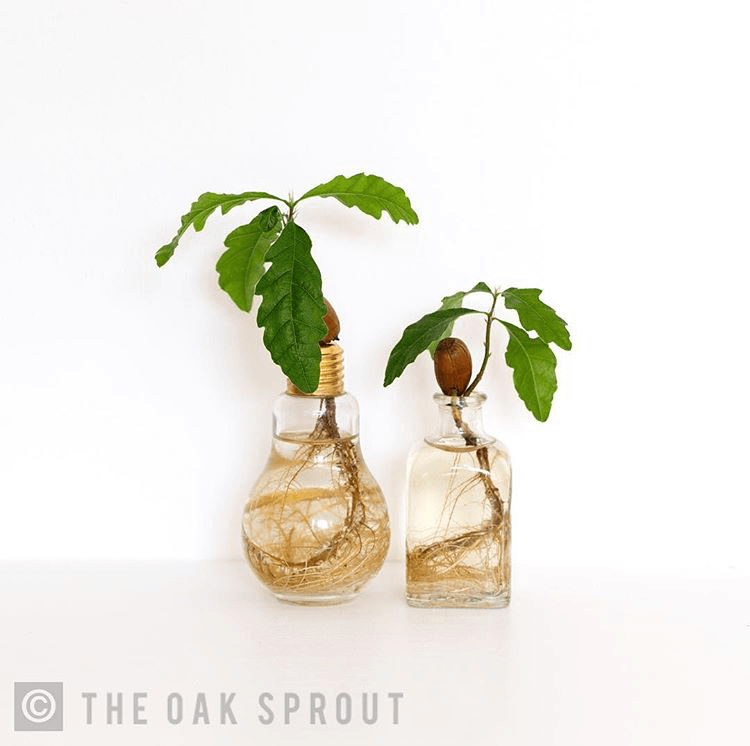oak tree seedling