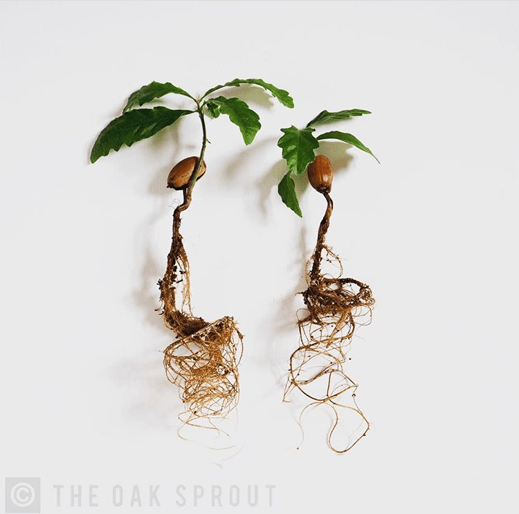 growth rate of acorn sprout