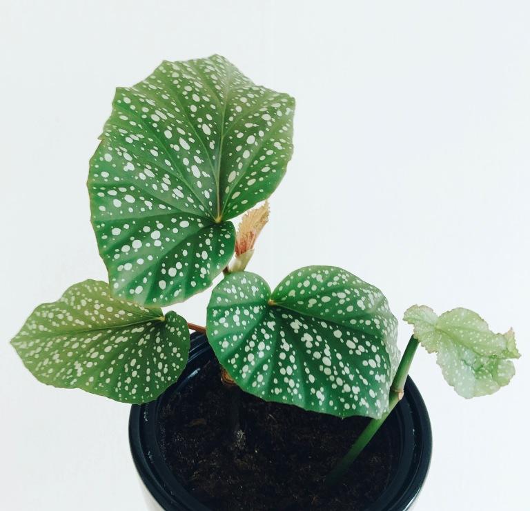 Begonia February 21.jpg