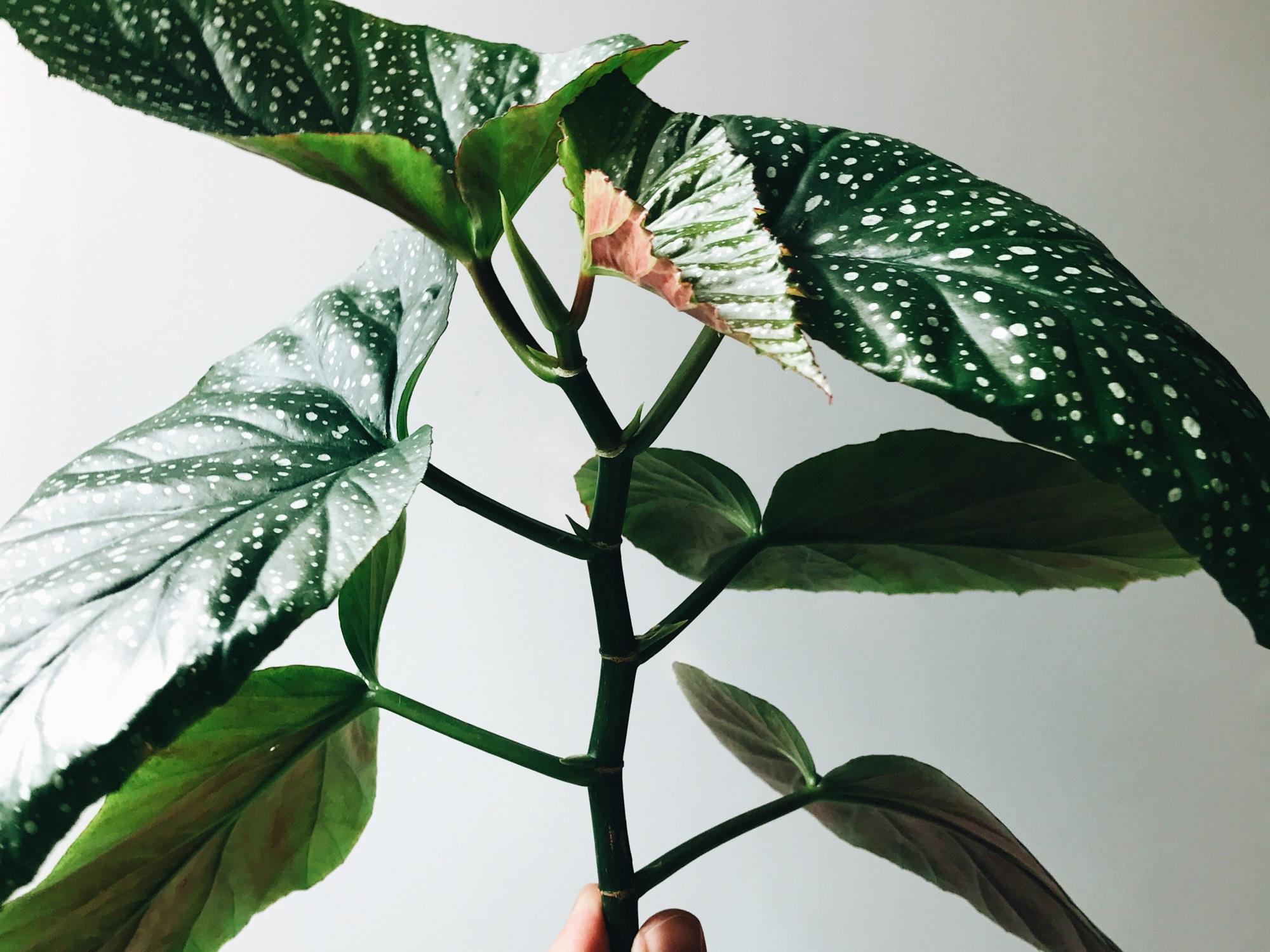 Begonia grown by @upleafting