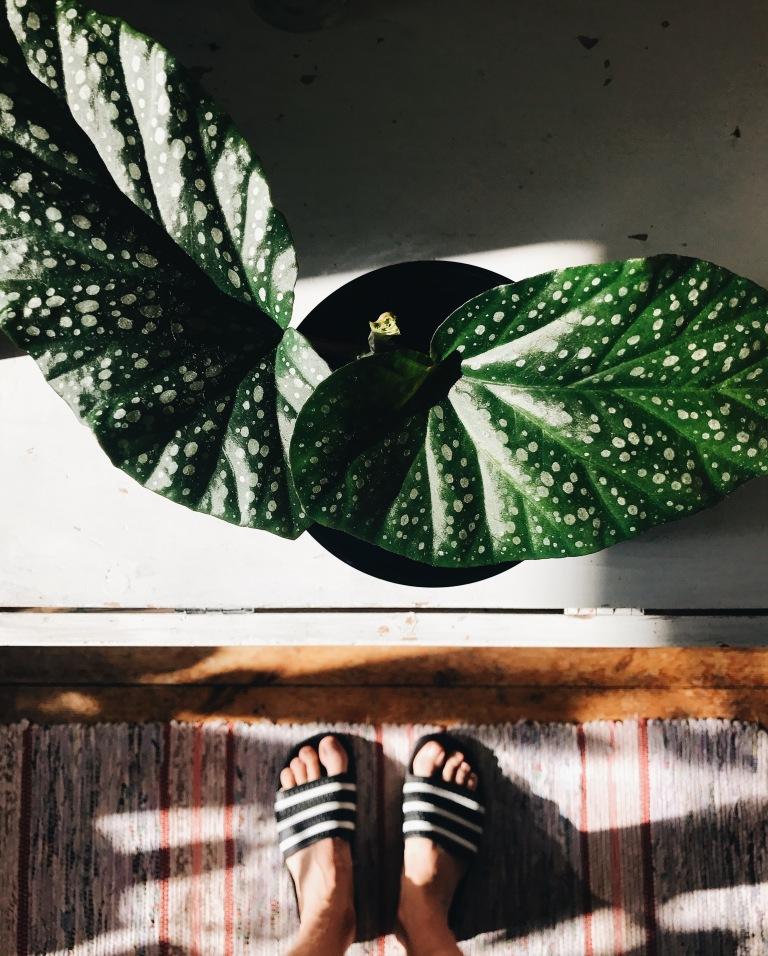 Begonia March 19.jpg