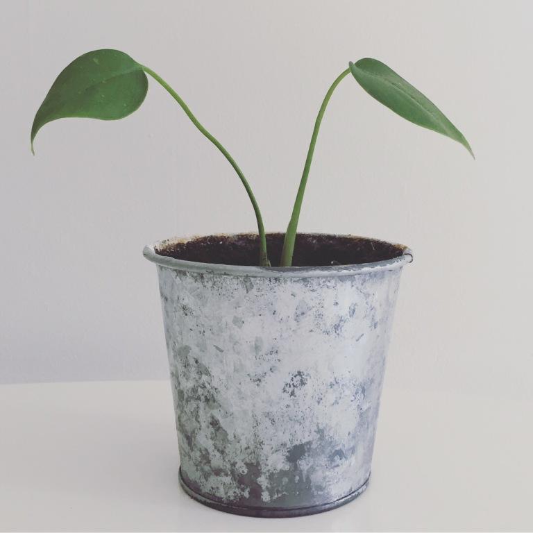 9th May 2017: Monstera plant