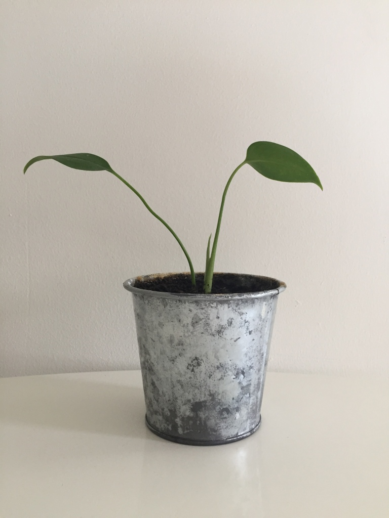 Fast growing monstera deliciosa