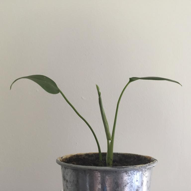 Monstera Deliciosa new leaf