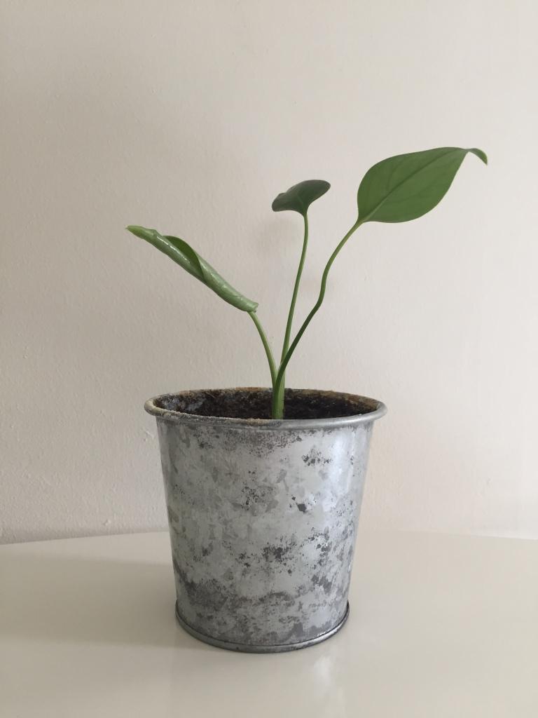 new leaf unfurling