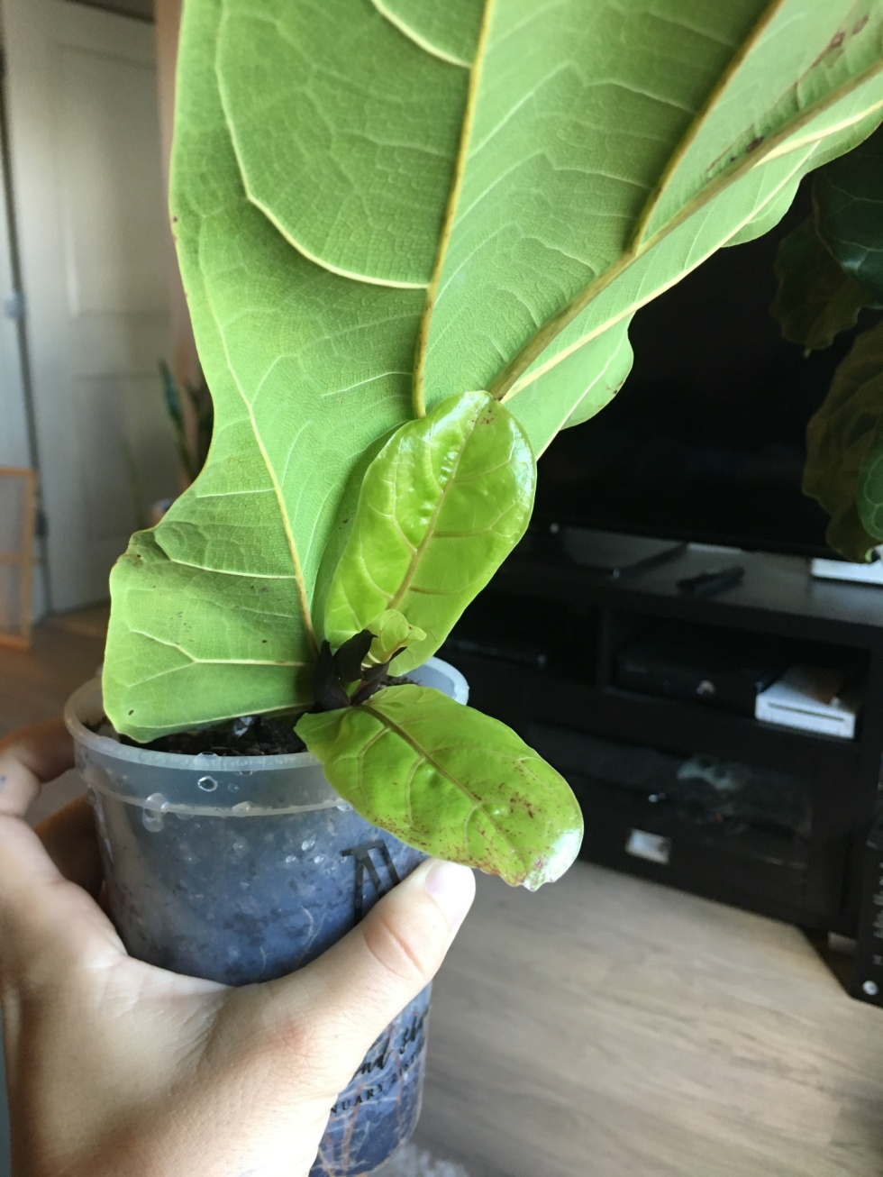 ficus lyrata growth rate
