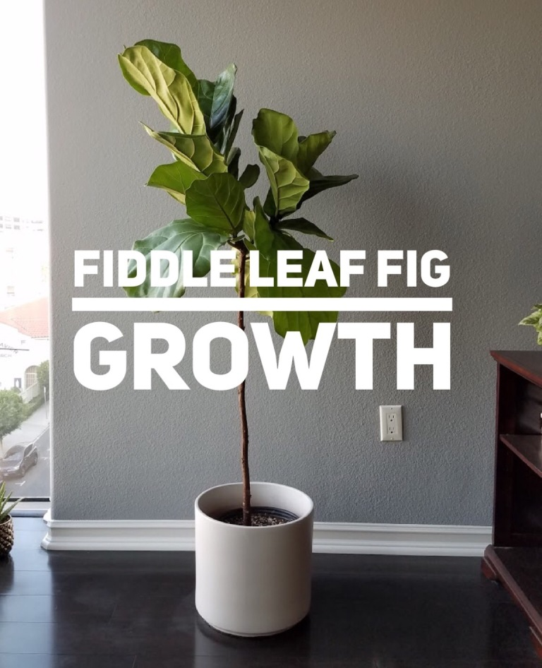 Fiddle Leaf Fig growth rate