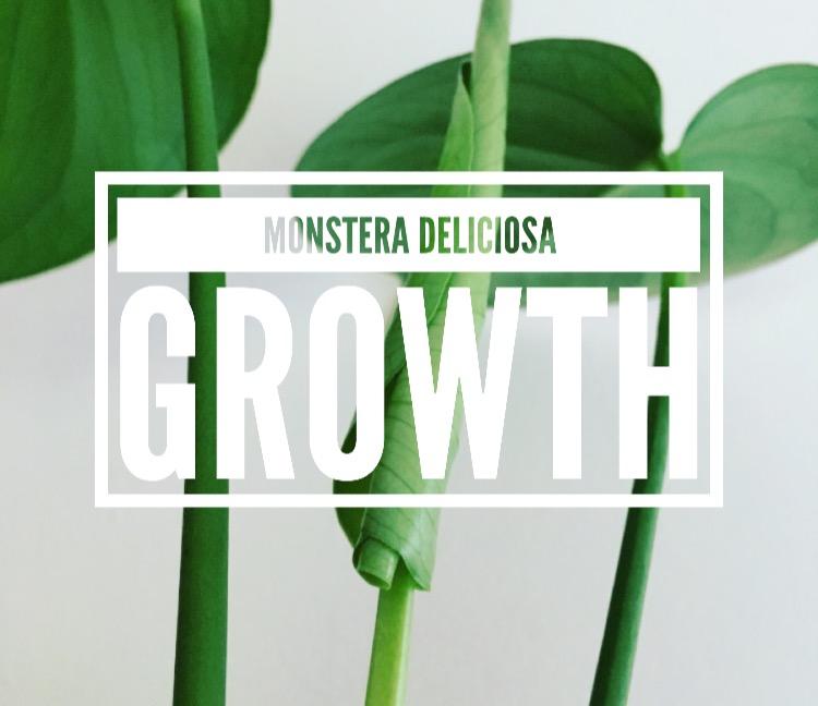Monstera Deliciosa Growth Rate