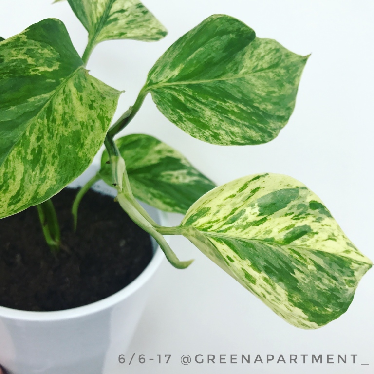 variegated pothos growth