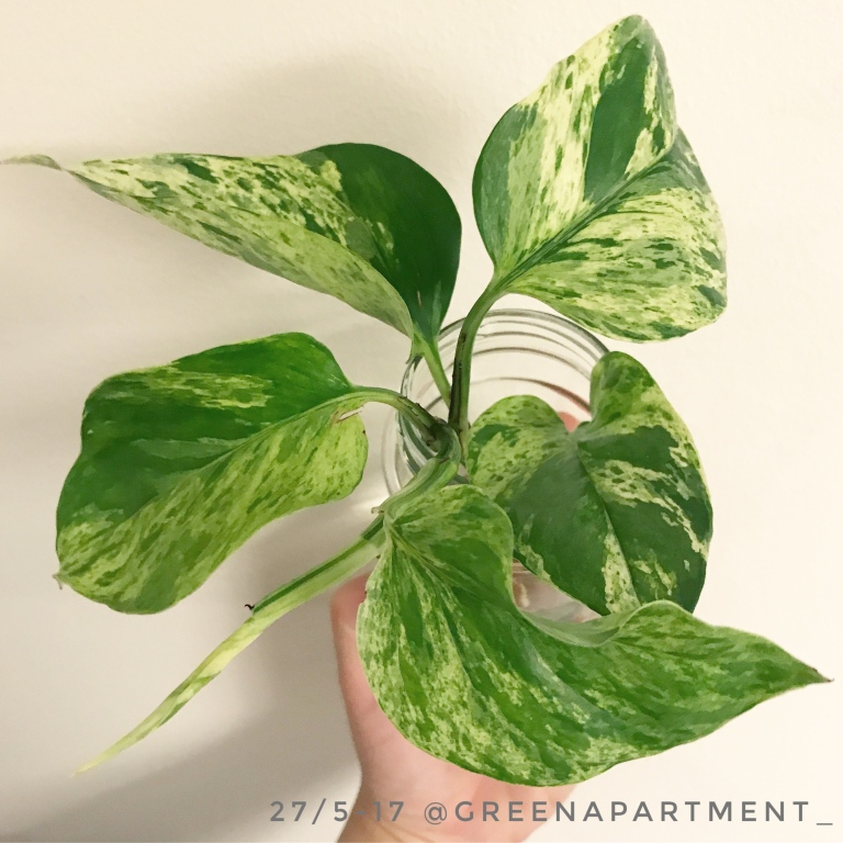 pothos propagation in water