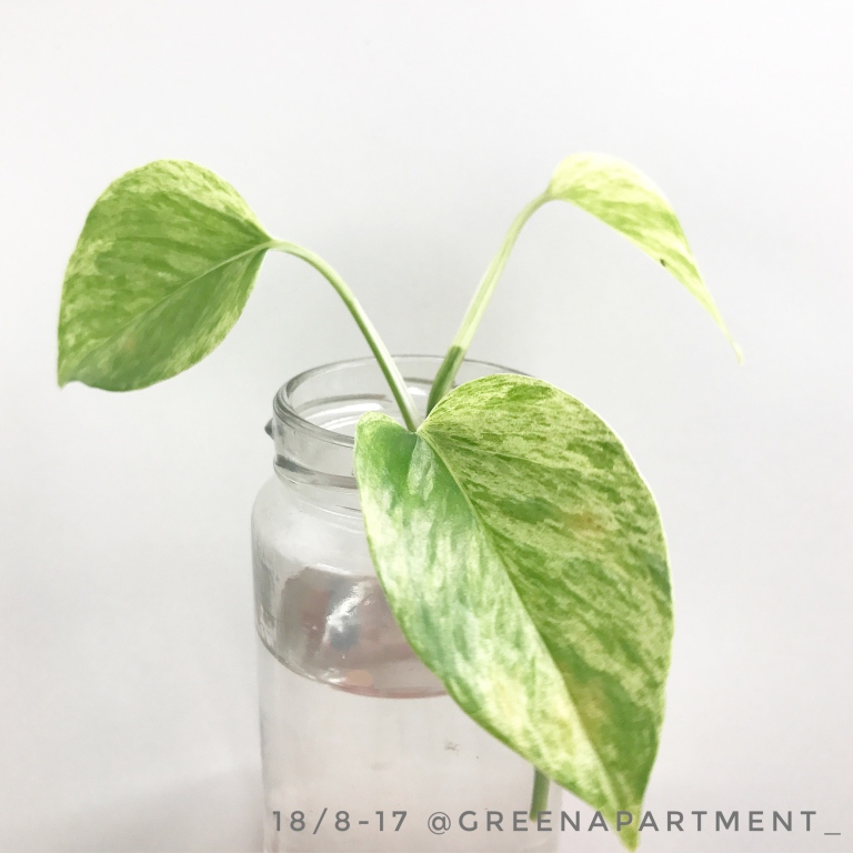 propagate devil's ivy in water