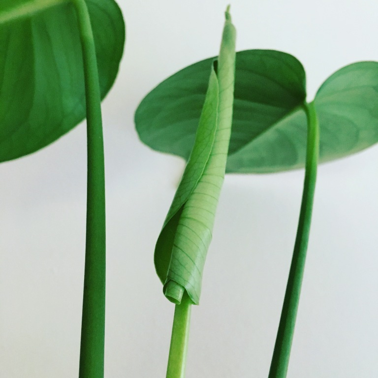 Monstera new leaf