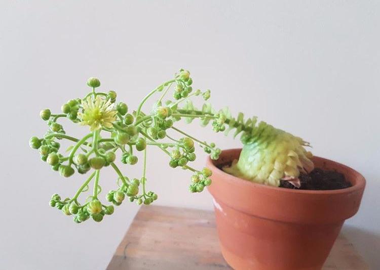 succulent flower buds