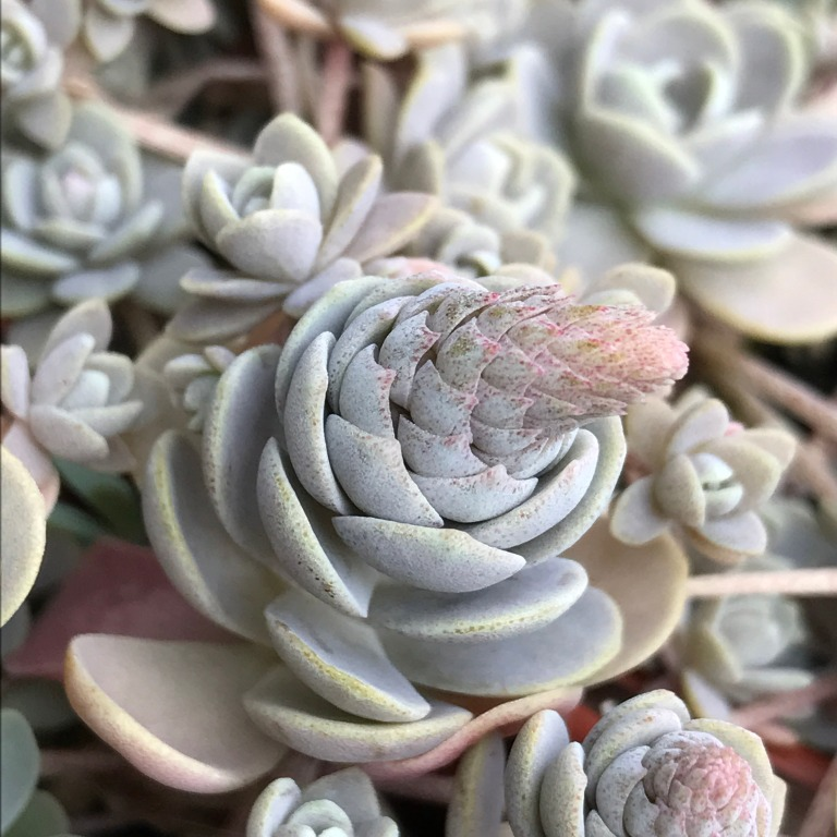 grey succulent