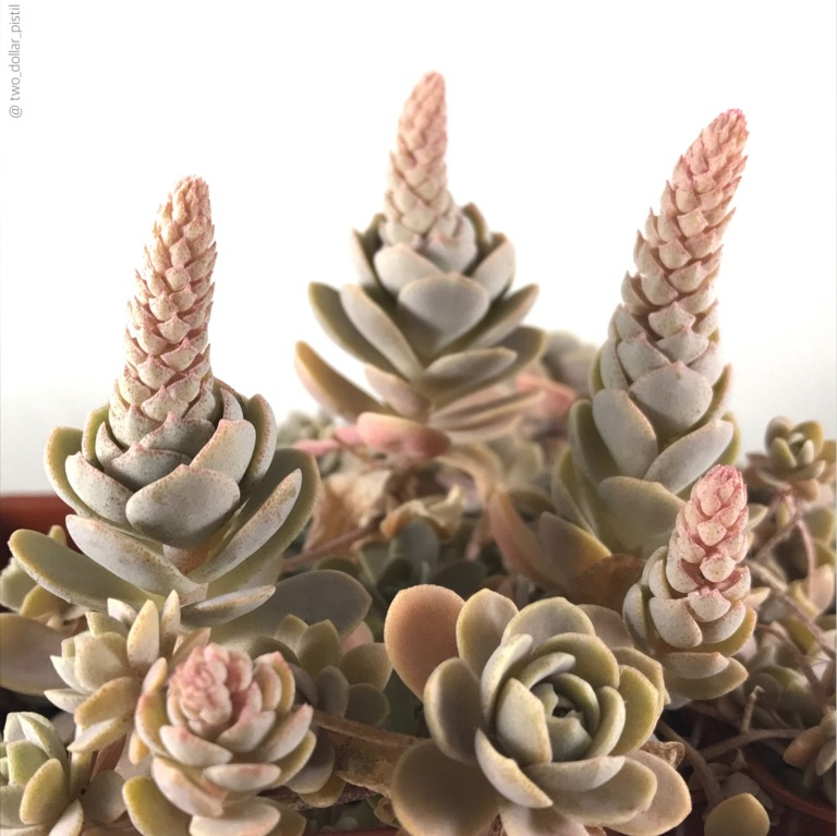 succulent flowering