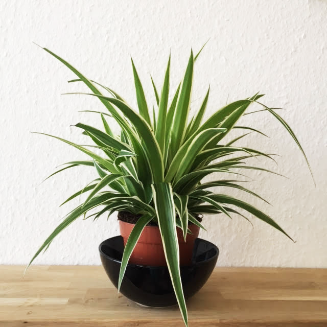spider plant growth