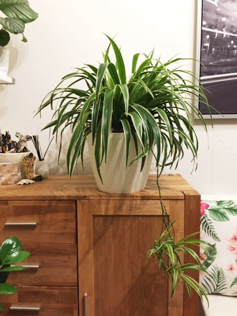 spider plant growth rate