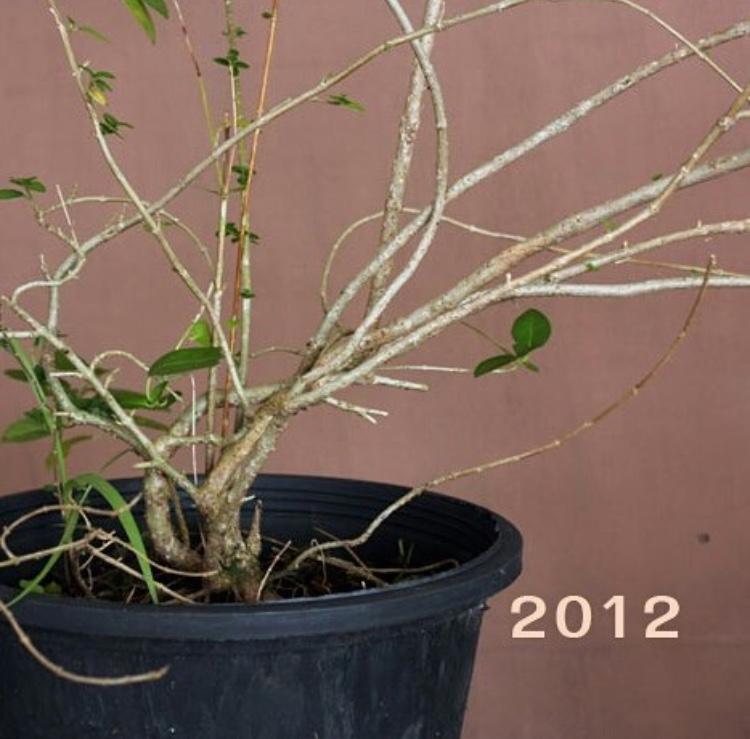 bonsai growth progress