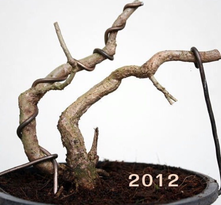 bonsai growth progress