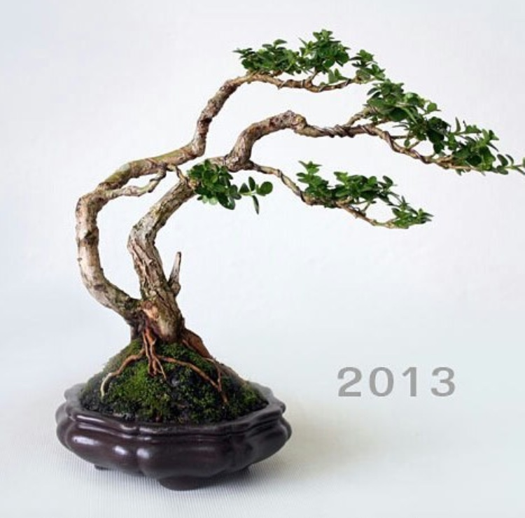 bonsai tree growth progress