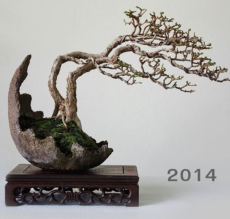 bonsai tree growth progress
