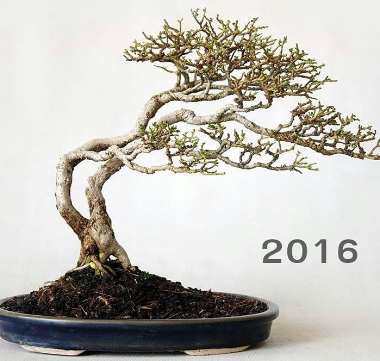 bonsai growth rate