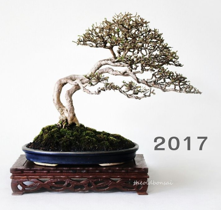 mature bonsai tree