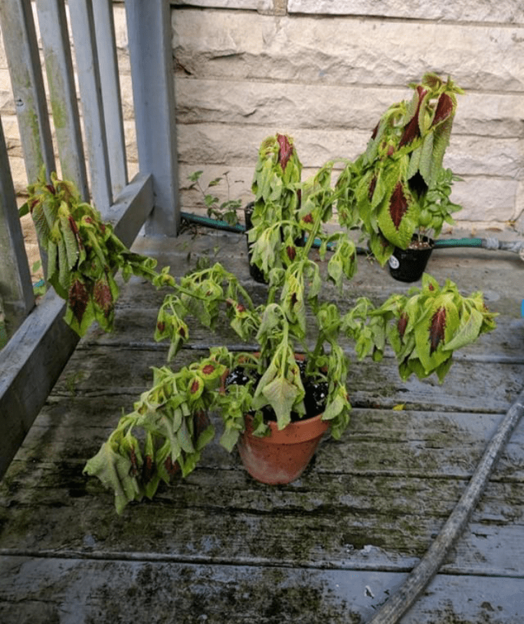 coleus watering