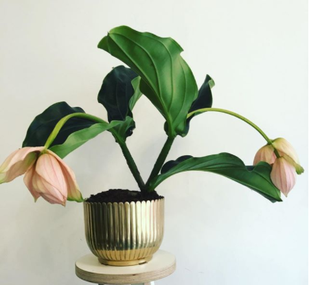 Medinilla Magnifica in pot