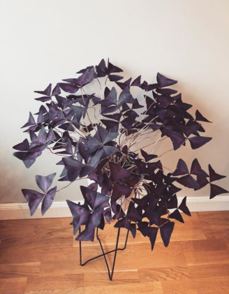 oxalis triangularis purple