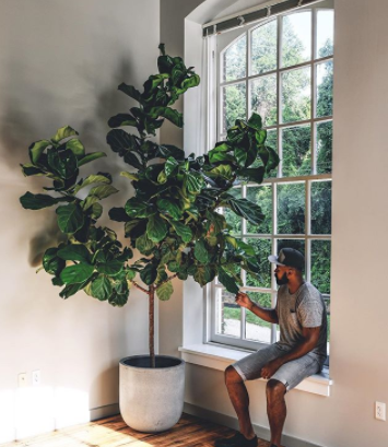 giant fiddle leaf fig