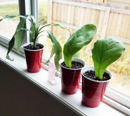 fiddle leaf fig cuttings
