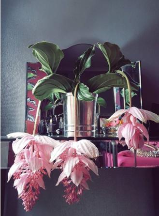 flowering medinilla magnifica
