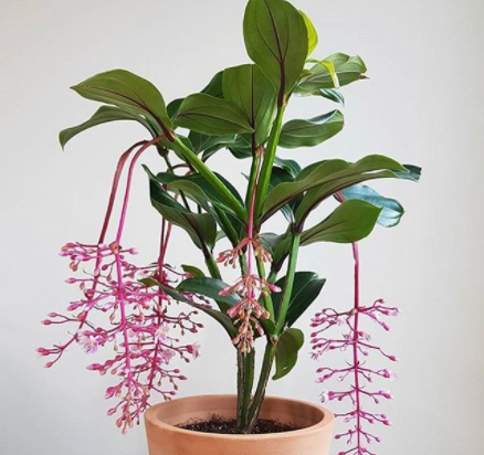 medinilla magnifica ending flowering