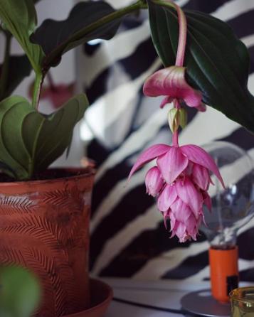 medinilla magnifica hanging flower