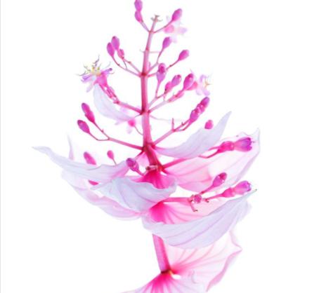 medinilla magnifica flower
