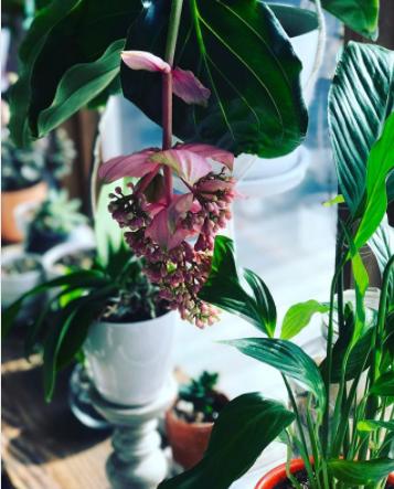 medinilla magnifica shade